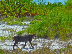 Bobcat on North Captiva Beach