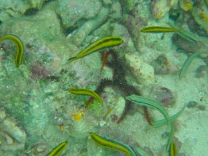 Brittle Star Big Pine Key