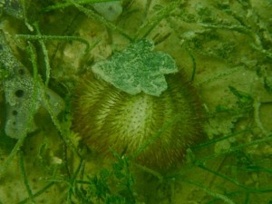 Green Variegated sea Urchin