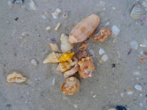 Shells on Sanibel beach