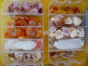 organized seashells