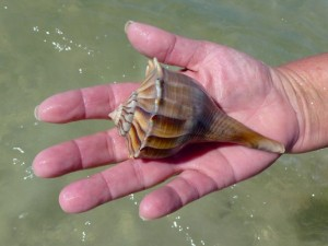 Carla lightning whelk sanibel