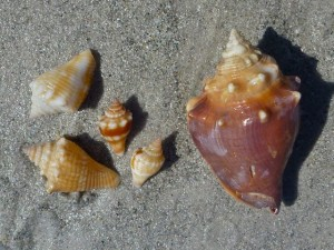 fighting conch family