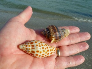 junonia kings crown sanibel seashells