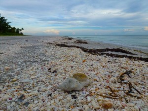 old conch beached