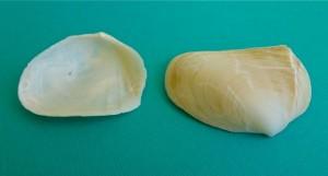Atlantic fat tellin Leporimetis intastriata