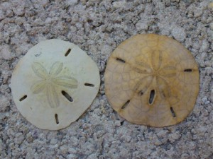 Sand dollars honeymoon Island Florida