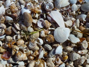 Turban seashells Honeymoon Island