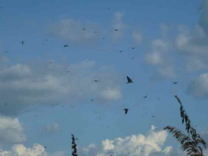 dragonfly birds