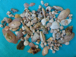 florida west coast seashells