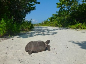 gopher tortoise Florida beach