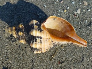 horse conch seashells sanibel