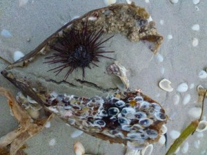 long spined sea urchin in pen shell