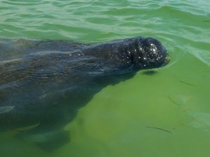 manatee honeymoon island florida