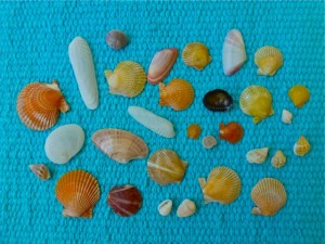 miniature Florida west coast seashells