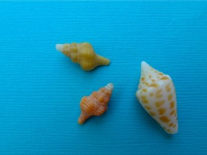 miniature horse conch cone