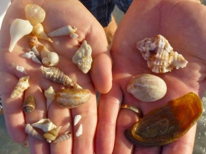 miniature shells and operculum