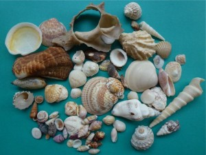 seashells from Rocky Point Puerto Penasco