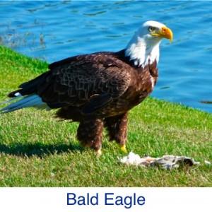 Bald Eagle ID