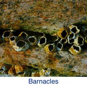 Barnacle ID