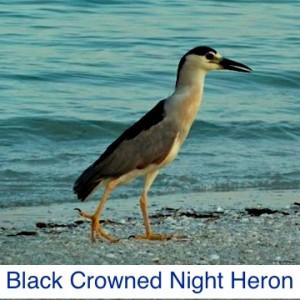 Black Crowned Night Heron ID