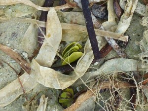 Black Mangrove seeds