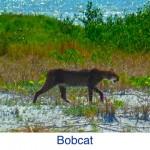 Bobcat ID