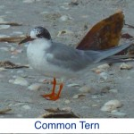 Common Tern ID