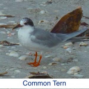 Common Tern ID