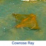 Cownose Ray ID