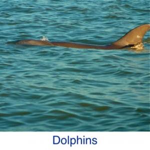 Dolphin ID