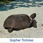 Gopher Tortoise ID