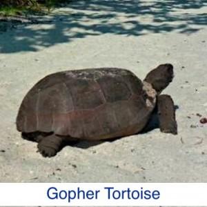 Gopher Tortoise ID