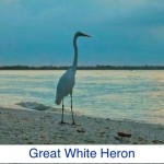 Great White Heron ID
