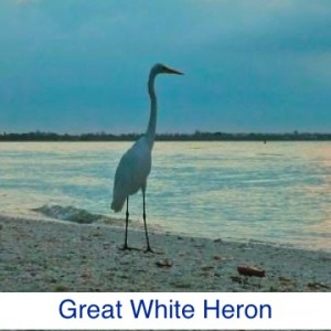 Great White Heron ID