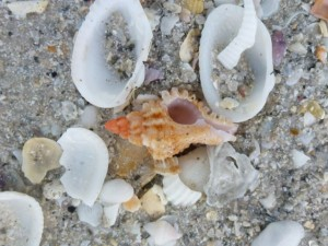 Lace Murex on Sanibel beach