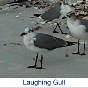 Laughing Gull ID