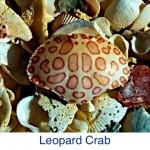 Leopard Crab Shell ID