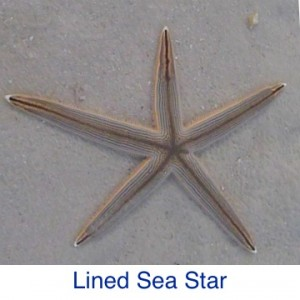 Lined Sea Star Starfish ID