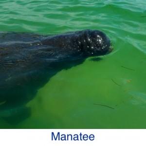 Manatee ID