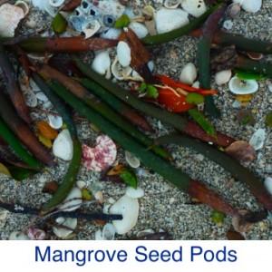 Mangrove Seed Pods ID