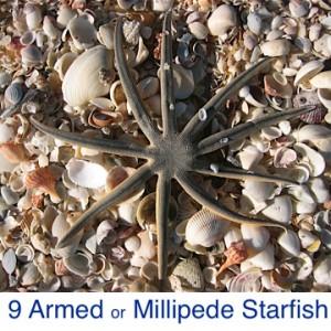 Nine Armed Millipede Starfish ID
