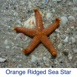 Orange Ridged Sea Star ID