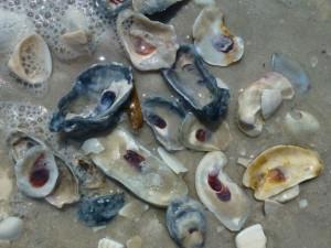 Oysters on Bonita Beach