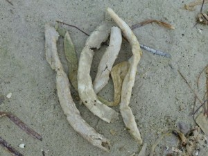 Parchment worms