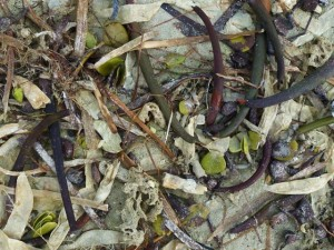 Parchment worms, red mangrove seed pods, mangrove seeds