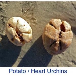 Potato Heart Urchin