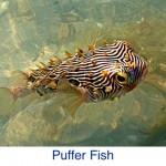 Puffer Fish ID