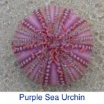 Purple Sea Urchin ID