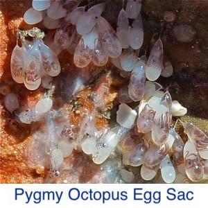 Pygmy Octopus Egg Sac